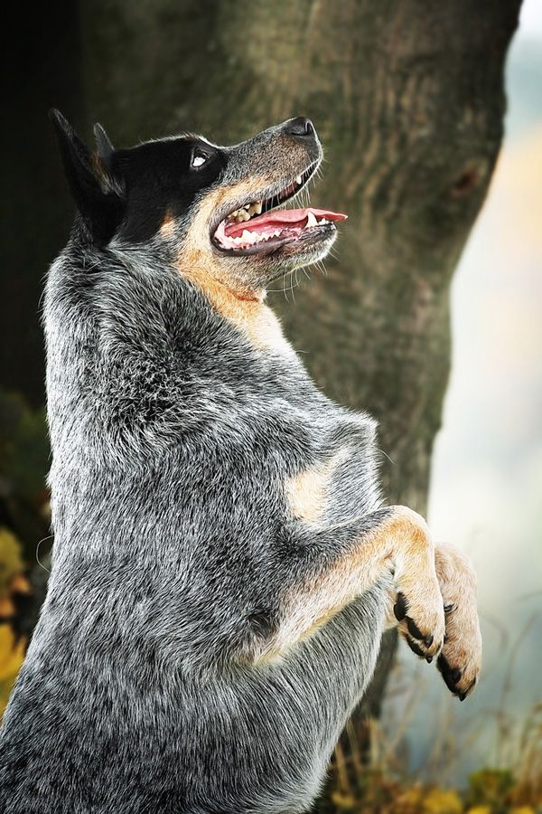 Get to Know the Australian Cattle Dog: A Dingo Descendant From ...