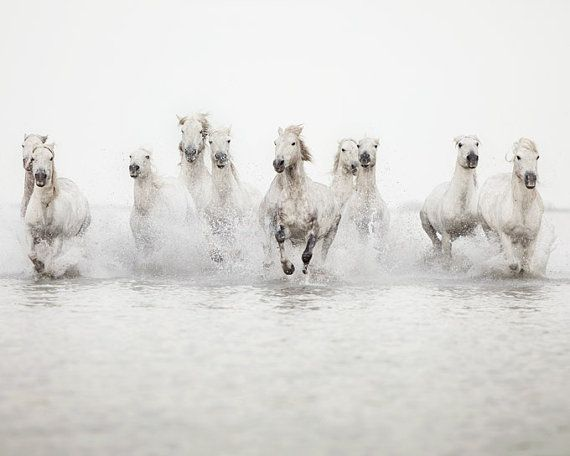 photo of the wild white horses of the camargue region in france