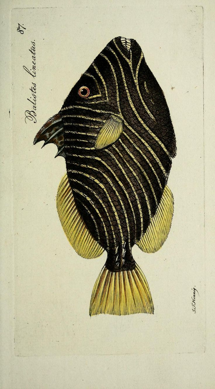 Illustration by J.F. Hennig from Systema Ichthyologiae Iconibus CX Illustratum, by author/illustrator Marcus Elieser Bloch (1723–1799). Published in 1801