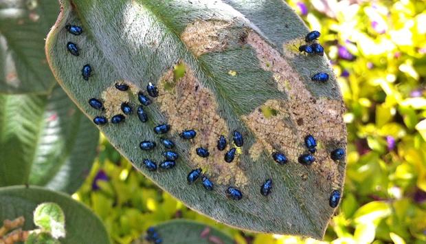 besourinhos