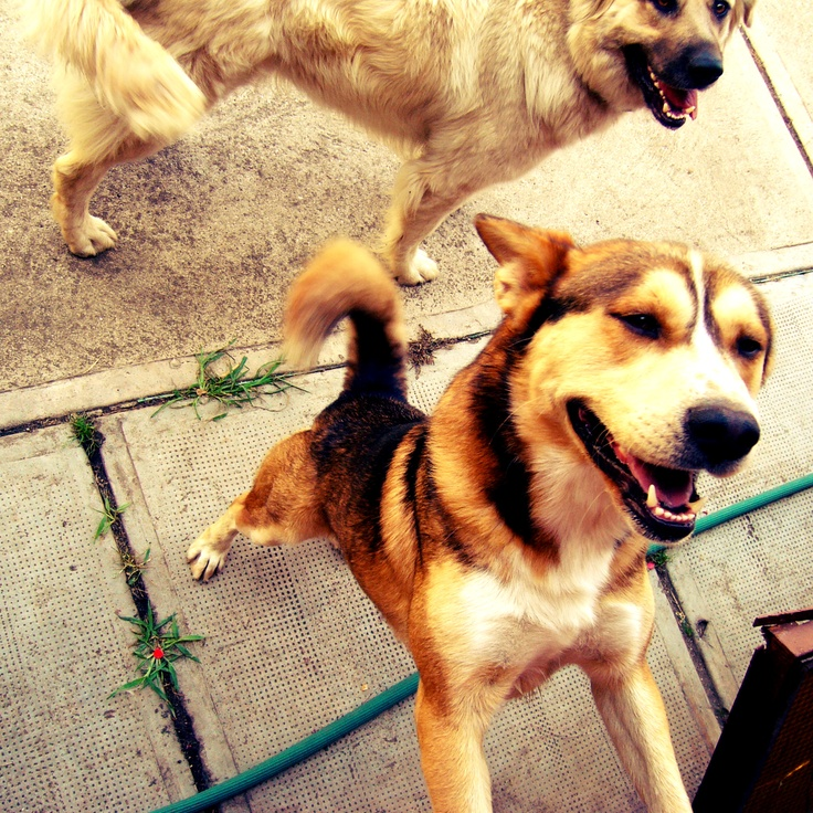 The Dogs of Hungary - Happy as can be in the yard with chickens and pigs.