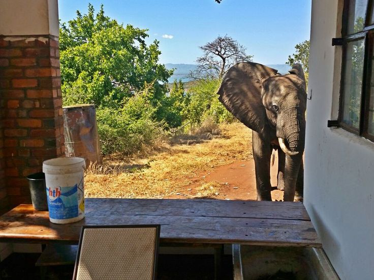 An injured bull elephant surprised guests and workers at a safari in Zimbabwe when he appeared to approach them for help, and then waited for five hours until a vet arrived. The huge animal – which has since been named Ben – was dehydrated and limping badly, and photographs show him looking inside a building, possibly for assistance. On closer inspection, workers from the Bumi Hills Foundation found the animal had two bullet holes through his left ear and a septic wound on his shoulder…