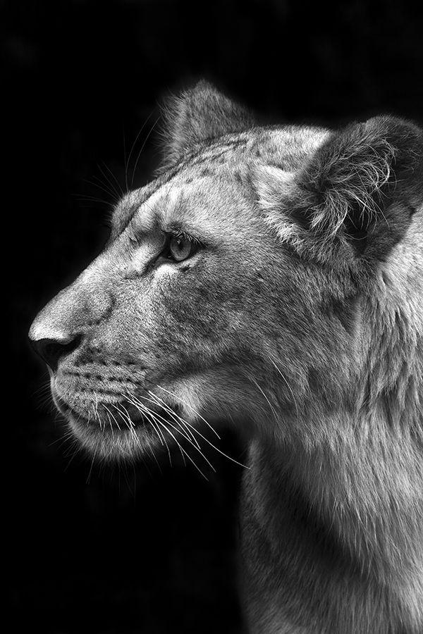 Lionne Scruteuse Photographie Noir Et Blanc Paysage Noir Et Blanc Noir Et Blanc