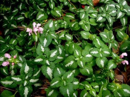Flowering Wintergreen Ground Covers for Shade