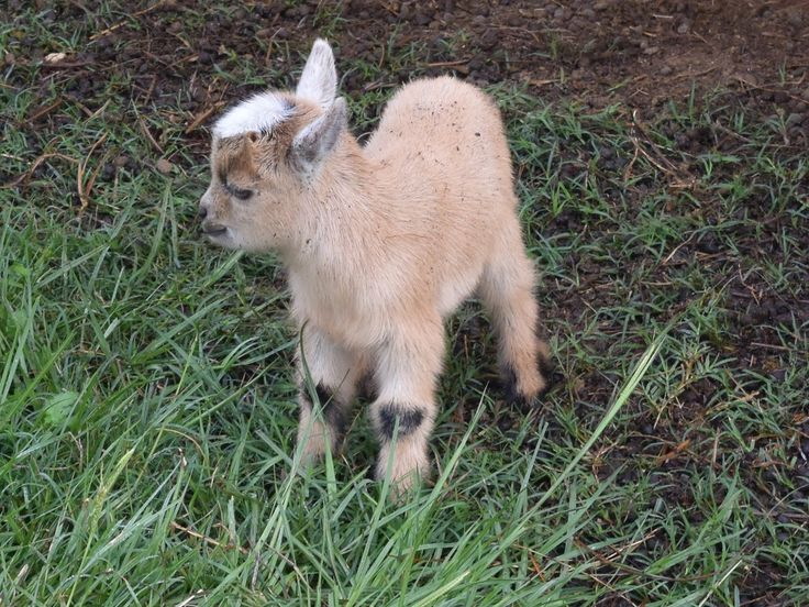 Pricing and shipping baby Pygmy goats by Snow Creek Farms in Amite Louisiana.