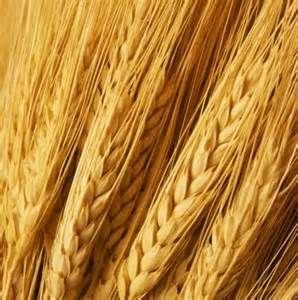 Gluten is a general name for the proteins found in wheat (durum, emmer, spelt, farina,farro, KAMUT® khorasan wheat and einkorn), rye, barley and triticale. Gluten helps foods maintain their shape, acting as a glue that holds food together. Gluten can be found in many types of foods, even ones that would not be expected (see …