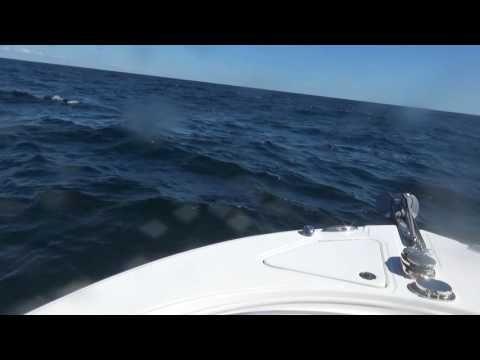 421 Thresher Shark #saltwaterfishing @penn_reel  #shark #fishinglife #boating #socialmedia http://tipstrickscentral.blogspot.com/2016/09/421-lb-thresher-shark-was-caught-long.html