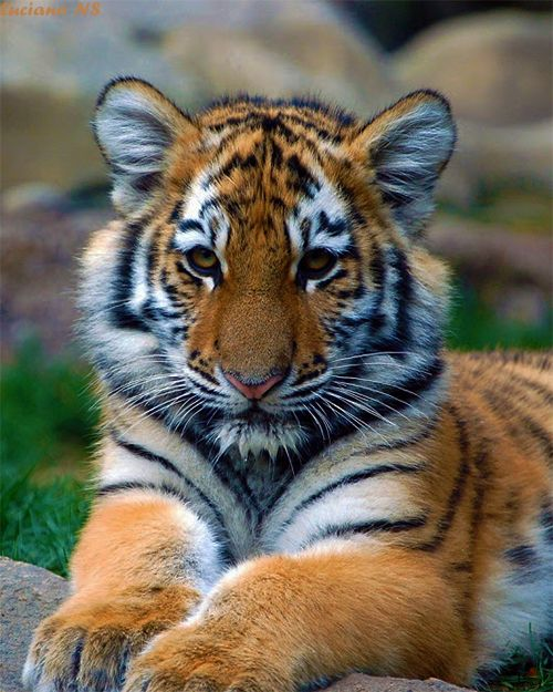 #baby #tiger wildlife-big-cats-puppy-cute