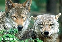 """""""Willkommen Wolf"""" Umfassende Infos über eines der seltensten Wildtiere in Deutschland - NABU Projekt zum Schutz der Wölfe in Deutschland"""