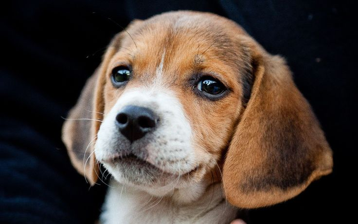 Cute Baby Beagle! Reminds me of our Gus when he was a puppy! So cute!