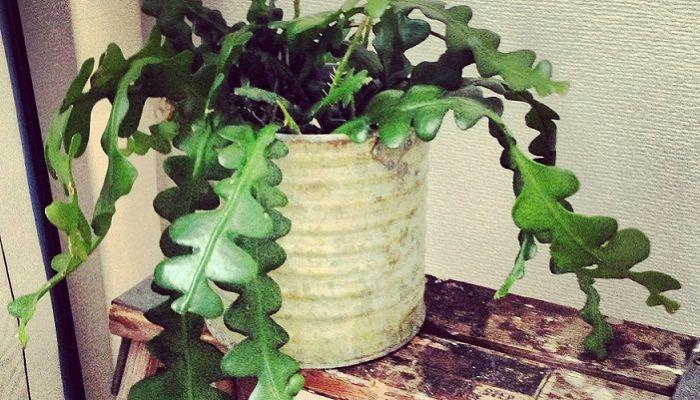 ジグザグカクタスは、サボテンの仲間で「クジャクサボテン」「ムカデサボテン」とも呼ばれています。 水やりや植え替え、挿し木での増やし方など5分で分かる上手な育て方を紹介。