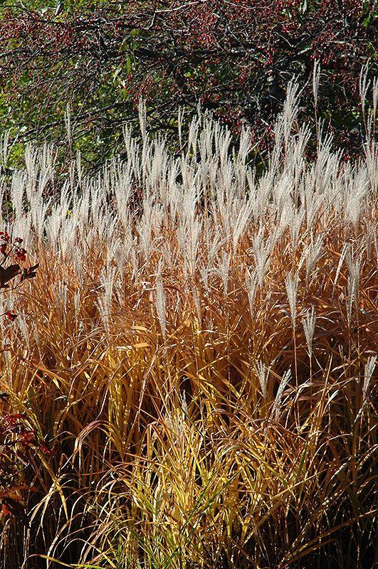 Flame Grass (Miscanthus sinensis 'Purpurascens') at Stein's Garden & Home