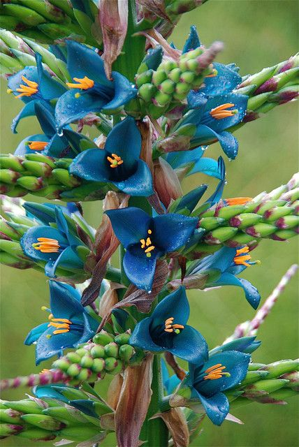 Puya berteroniana, a bromeliad native to Chile, blooming blue at Quail Gardens Encinitas ~ San Diego County, CA.  Photo by Michael Buckner, The Plant Man Nursery San Diego, CA; May 30, 2009.