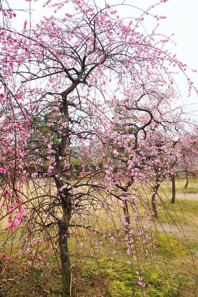 大和郡山城跡の梅