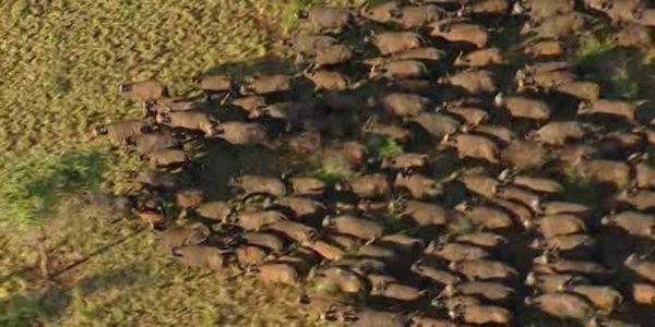 Dakota Pipeline: la mandria di bufali si unisce alle proteste dei Sioux (VIDEO)
