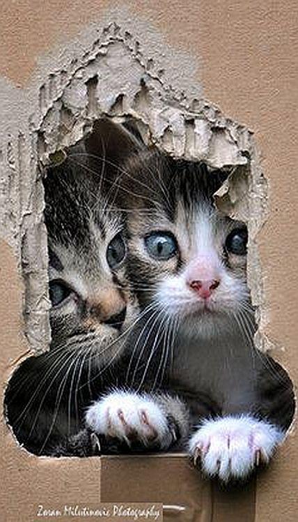 Box break ☀ #by ZoranPhoto on DeviantArt #kitten kitty cat cats animal pet cute sweet amazing o