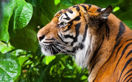 The Tiger Population Is Dwindling Everywhere Except for This Country - - - India is home to 70 percent of the world's tigers, plainly indicating that conservation for wild animals is working there. It is one of the only places in the world where the number of tiger individuals is actually rising.