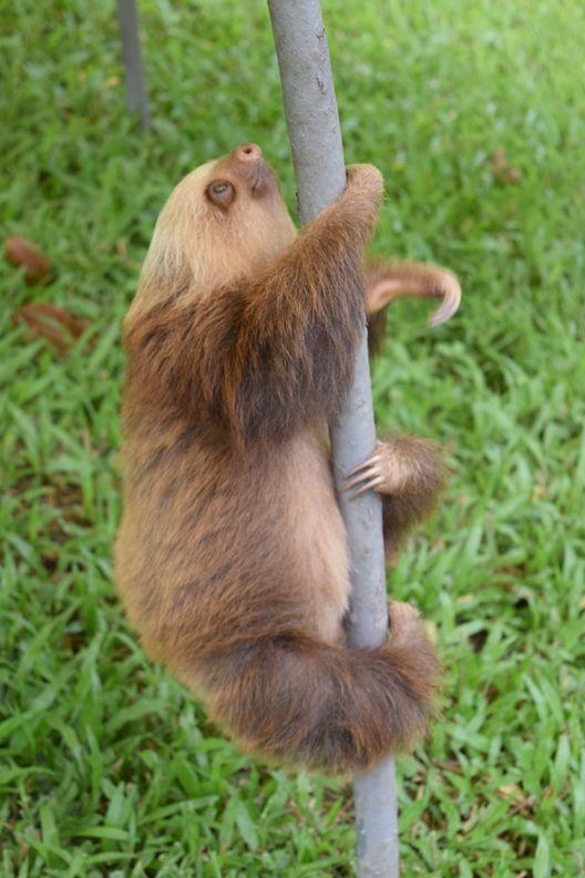 Sloth Sanctuary 4_Choloep climb_141015 | Sloths ...