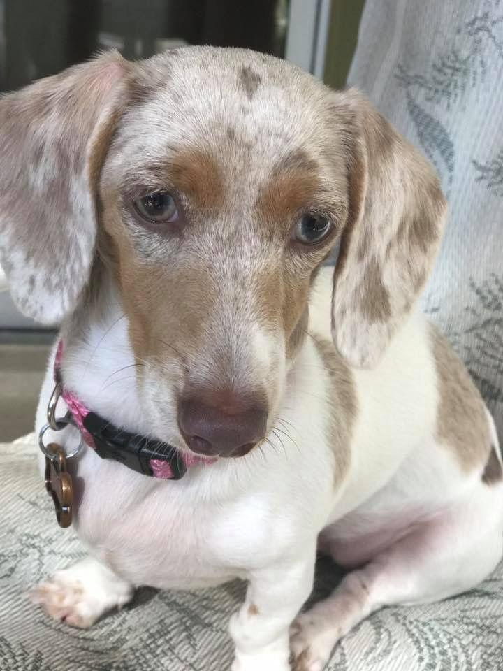 Daisy - silver dapple piebald dachshund