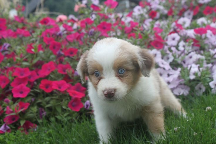 Puppies for sale australian cattle dog
