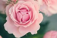 """The Dutch word for a flower is """"bloem"""" [in Afrikaans """"blom""""] and Bloemfontein is also known as the city of roses."""