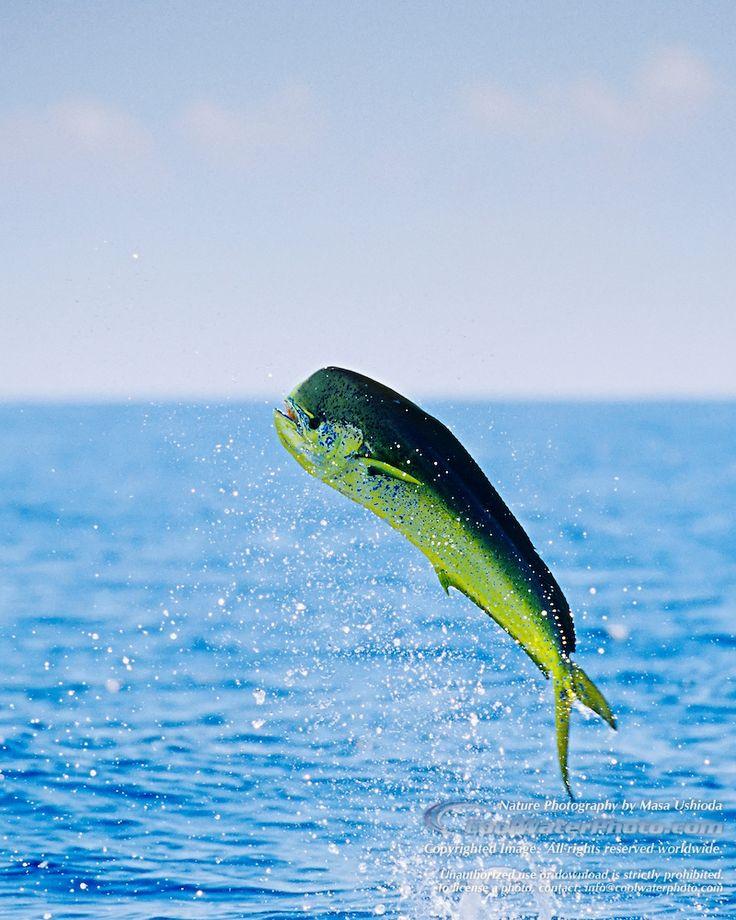 Mahi Mahi / Common Dolphinfish - Images | Masa Ushioda ...