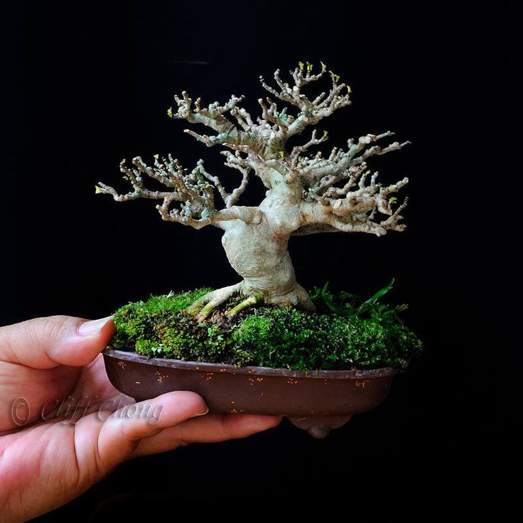 Til SKRÆK & ADVARSEL klip aldrig din bonsai for hårdt !!!