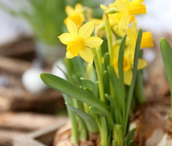 Løkplanter - våren på forskudd! | Hageland.no
