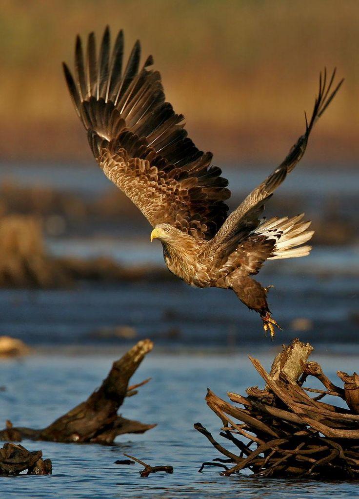white-tailed eagle by eugenijus kavaliauskas