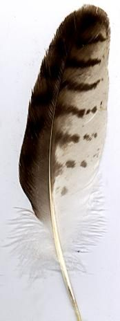 NativeTech: REDTAIL HAWK - WING FEATHER
