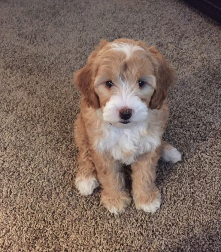 Check out our list of all upcoming Goldendoodle litters and Double Doodle litters below. Please fill out the puppy application and we will contact you.