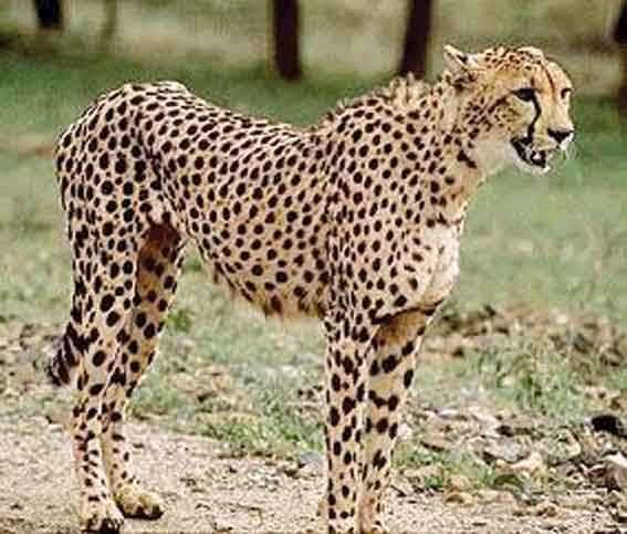 Google Image Result for http://karook.files.wordpress.com/2008/12/asiatic_cheetah.jpg
