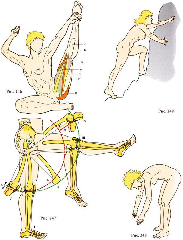 Мышцы-сгибатели голени