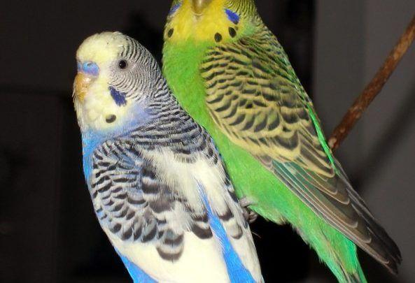 ارتفاع الهرمونات عند ذكر البادجي Bird Animals Parrot