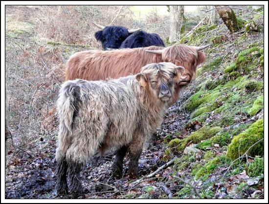 Elevage de bovins Highland Cattle en France ;vaches highland cattle, élevage de reproducteurs highland cattle,vaches écossaises ,Elevage bovins highla