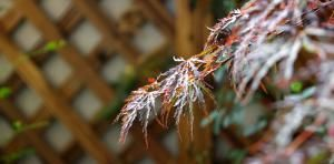 Add Grace to Your Garden With These 19 Weeping Trees: Weeping Japanese Maple