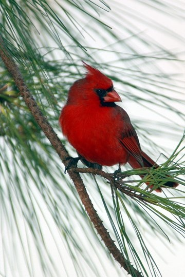 In Memory of my sister Annie. We were watching the cardinals together and…