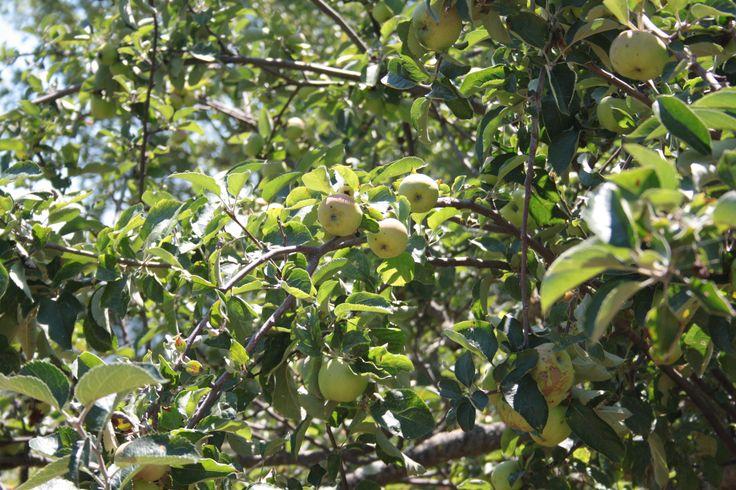 Mele bio Organic Apples Pommes Bio