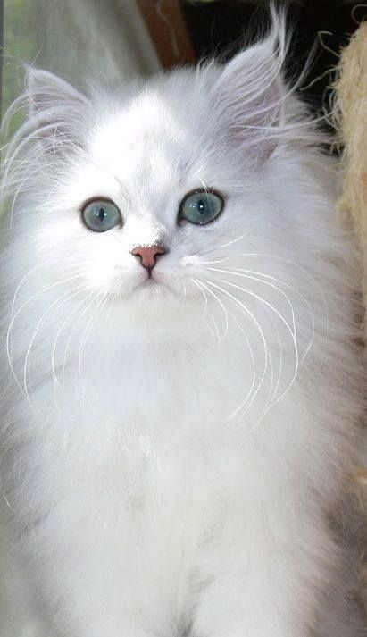 I've always wanted a long haired white cat with blue eyes- instead I have 2 black ones!