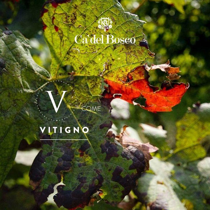 Dai pampini ai viticci, dal busto alle radici, ogni singola pianta concorre a creare il più grande tesoro della Franciacorta. #enjoycadelbosco #vitigno #franciacorta