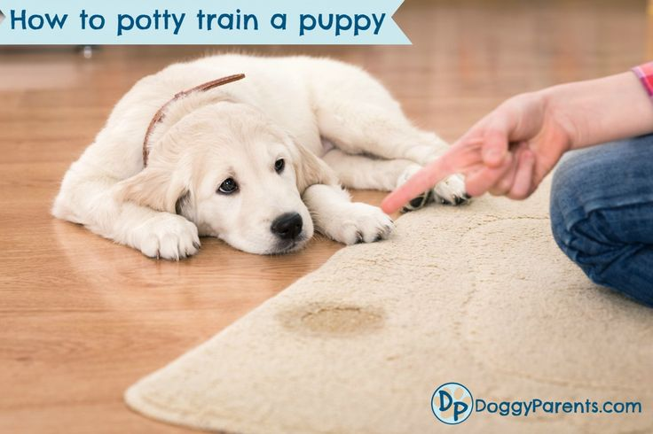 Need to learn how to potty train a puppy? Save this pin, then click on picture to watch a detailed potty training video by leading professional puppy trainer.