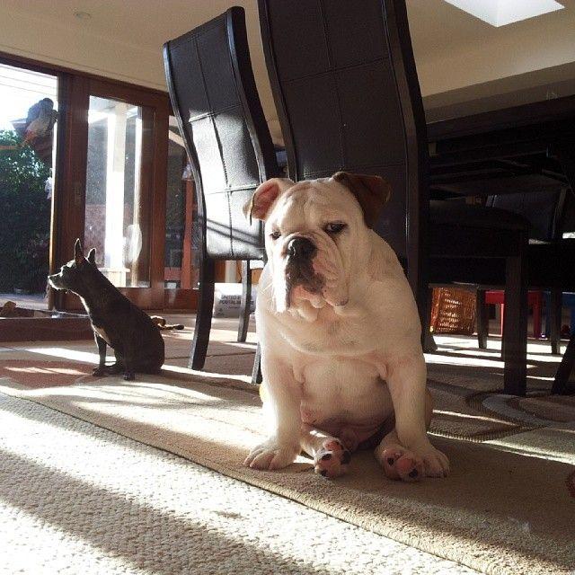 日差しのなかでボーッ。。イングリッシュブルドッグの画像