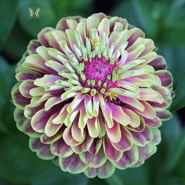 Zinnia Queen Lime 15 Seeds