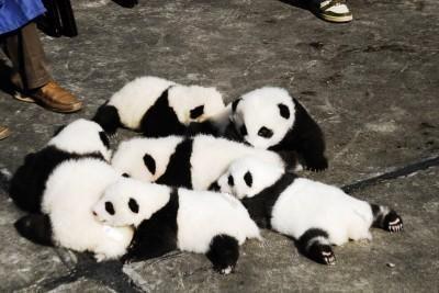 眠くてもかわいいへたれ子パンダ―四川省臥龍市