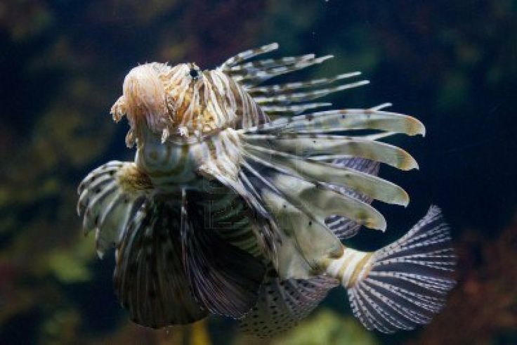 El pez león rojo (Pterois volitans) peces venenosos arrecife de coral está revestida con franjas blancas alternadas con rojo, marrón, o marr...
