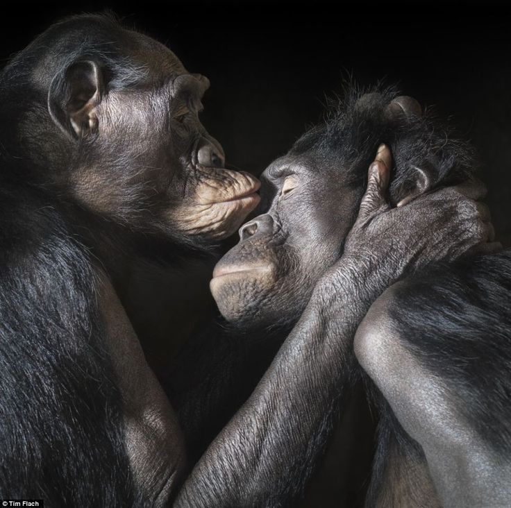 Very personal: Two apes enjoy an intimate moment together ~ photo by Tim Flach