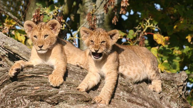 Lion cubs on the tree wallpaper
