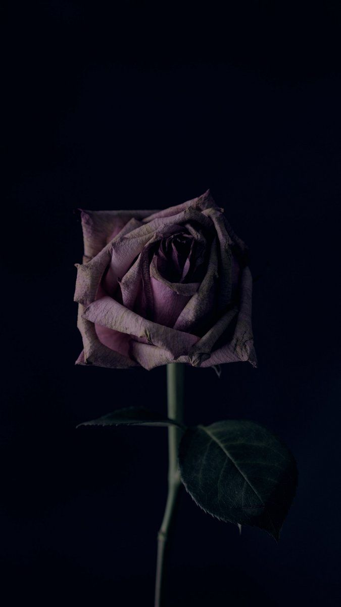 Rose Flower Black Background Bud Wallpaper Iphonexswallpaper