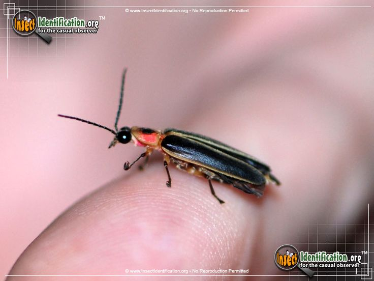 Details of the Big Dipper Firefly - Category Beetle - North America, United States, Canada and Mexico.