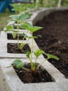 Mettre fraisiers dans des blocs de béton au bord d'un jardin. Cela permet de garder les fraises au sol et la chaleur des blocs les aide à grandir.